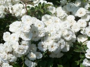 White rose, Coastal Maine Botanical Gardens, July 2008