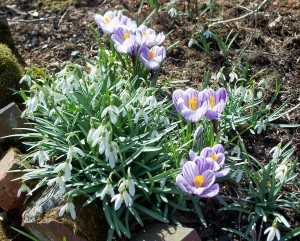Crocus and galanthus (snowdrops), April 2008