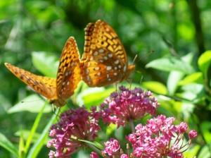 Monarchs on Milkweed, Garden in the Woods, July 2008