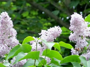 Lilacs trio, May 2008