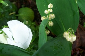 Lily of the Valley blossoms, and white pansy, early June 2008