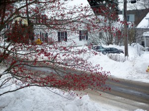 Winter Hawthorne in Snow, Dec. 2008