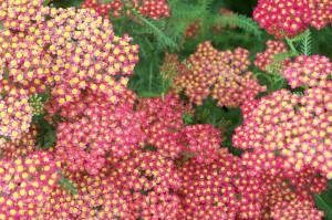 Red Yarrow, Tower Hill, July 2008