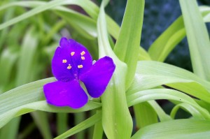 Tradescantia (spiderwort) bloom, June 2008