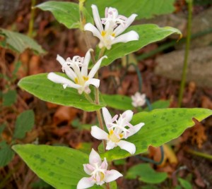 Tricyrtis (toad lily), Oct. 2007
