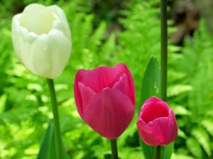 tulip trio with ferns, May 2008