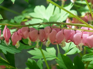 Bleeding heart (dicentra) blooms, May 2007