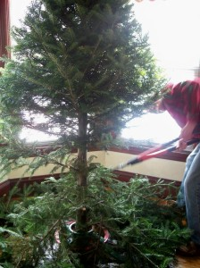 lopping the Christmas tree branches