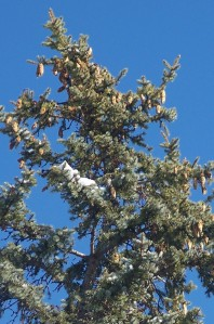 Lotsa pine cones at the top of this pine tree - Jan. 2009