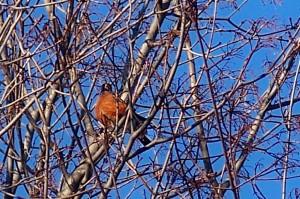 robin in tree, 29 Jan. 2009