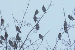 flock of cedar waxwings, near river, Feb. 2009