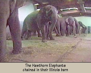 hawthornelephants
