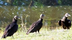 vulturesthreefloridafeb20071