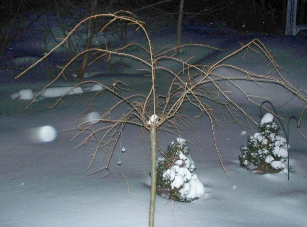 Weeping cherry, ornamental firs, and garden mirrors in the night snow