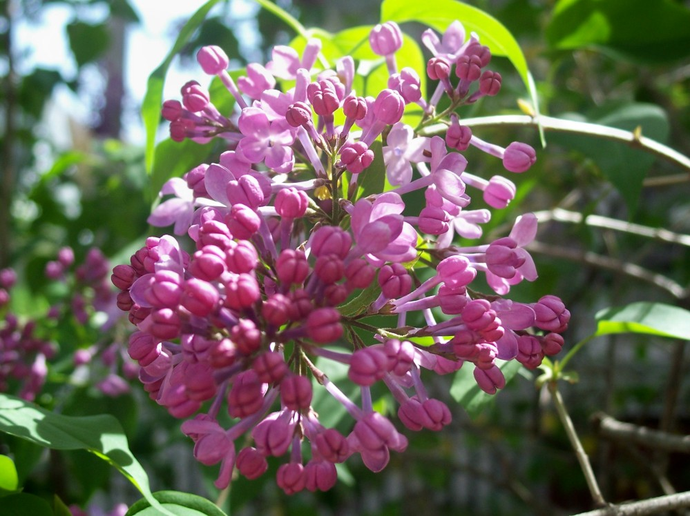 Lilac (heavenly scent)
