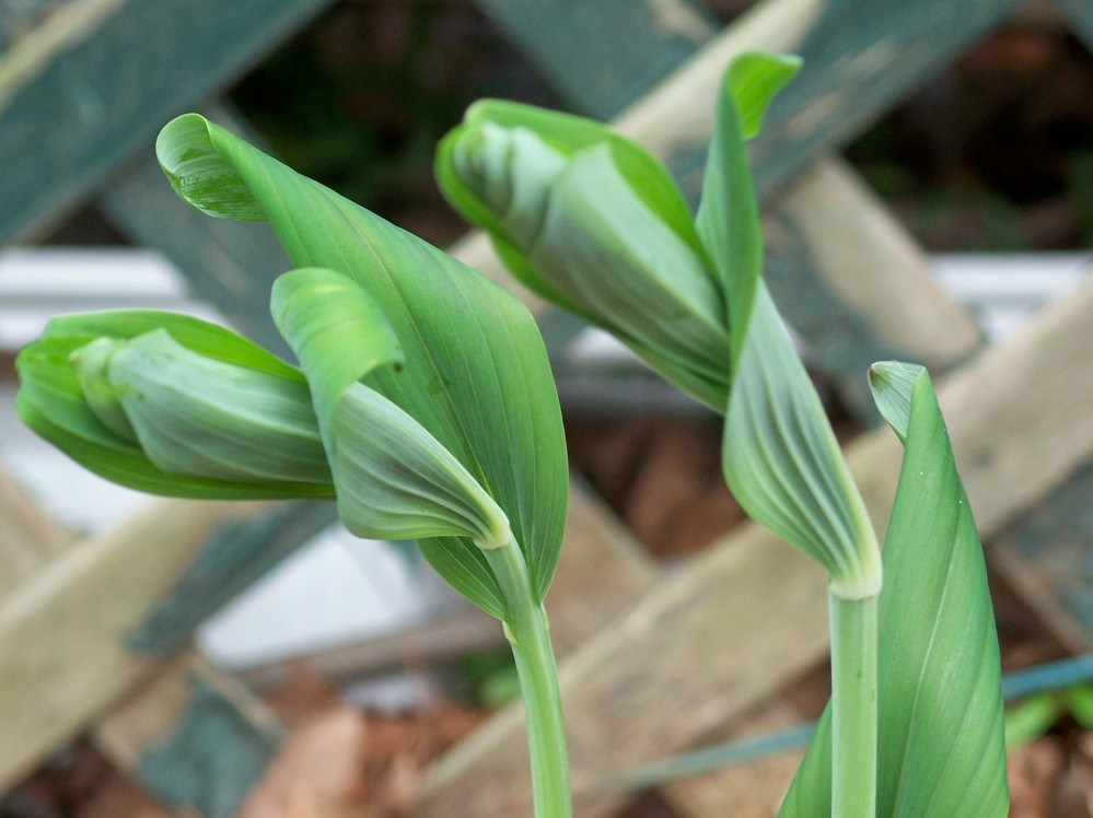 Solomon Seal shoots, unfurling