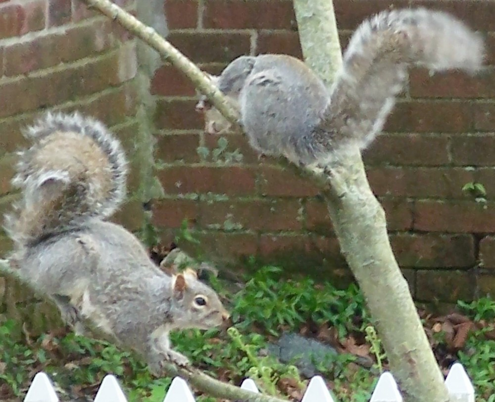 squirrels playing in side yard - squirrel on right is shaking its tail