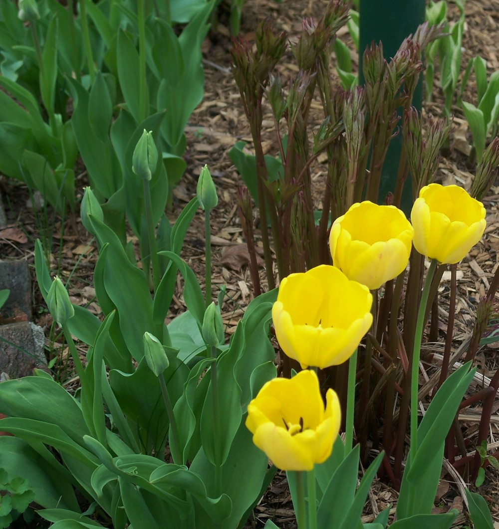 Yellow tulips with peony shoots behind