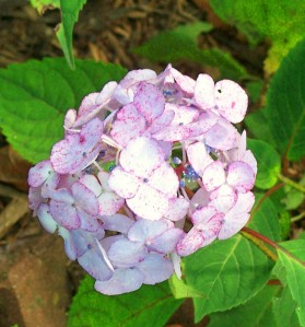 hydrangea in bloom close aug2009