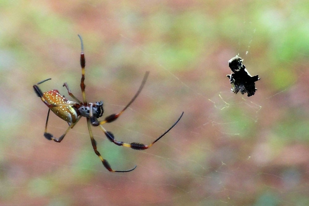 Banana spider and cache, Jekyll Island, Sept. 2008