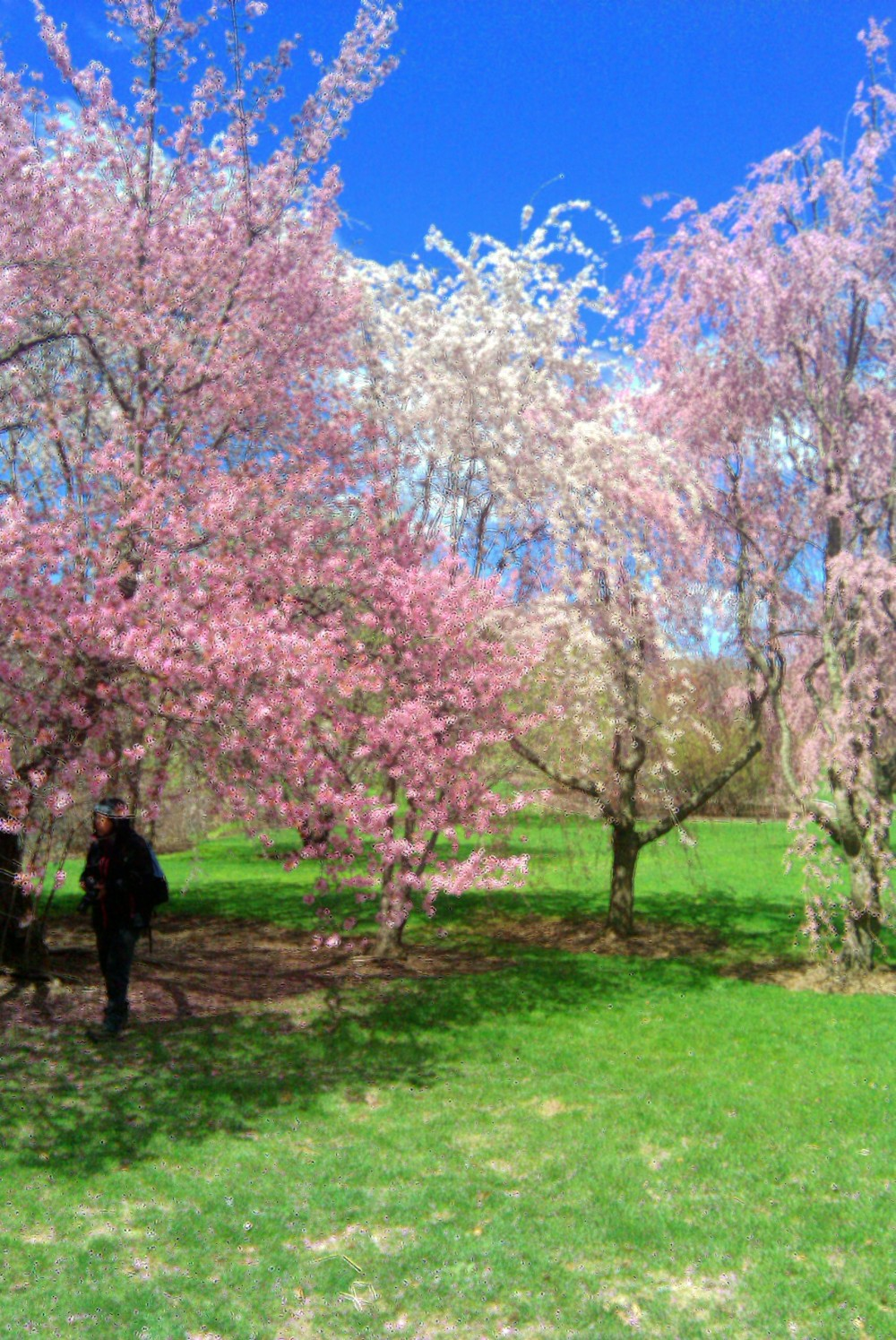 Pink and white fruit trees, Arnold Arboretum, 10 April 2010