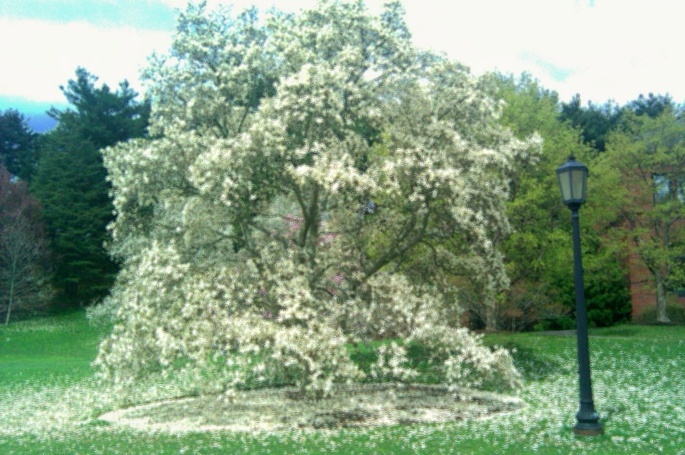 White blossoms, Arnold Arboretum, 10 April 2010