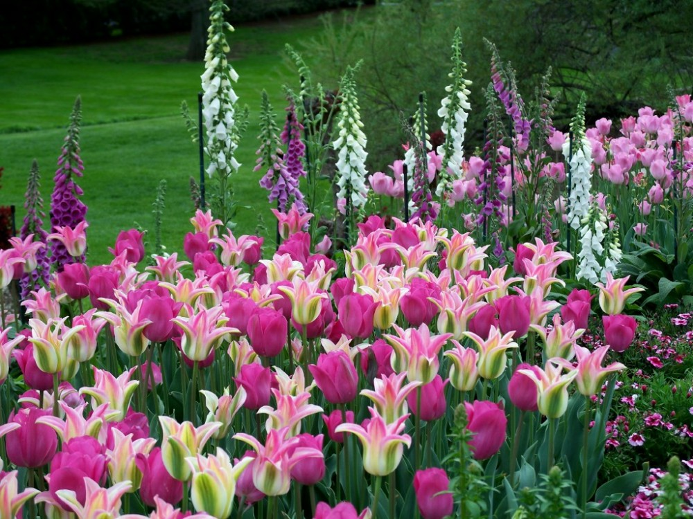 Tulips and foxglove, Longwood Gardens, May 2007