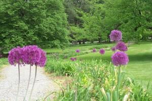 BBG Allium walkway
