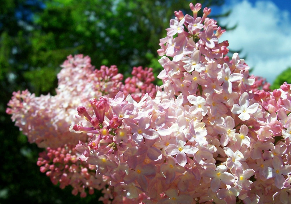 light pink lilac, mid-May 2010