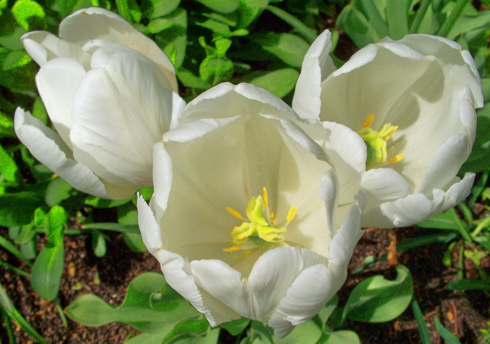 trio of white tulips, mid-May 2010