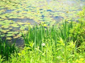 Ashuwillticook Rail Trail - daisies, yellow lilies, lilypads