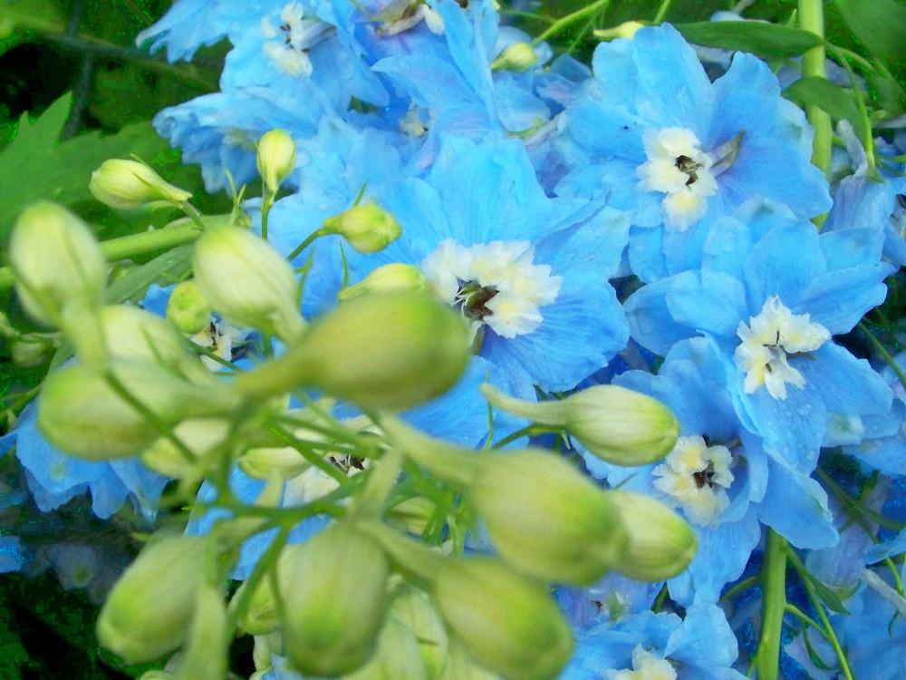 Delphinium blooms & buds, 23june2010