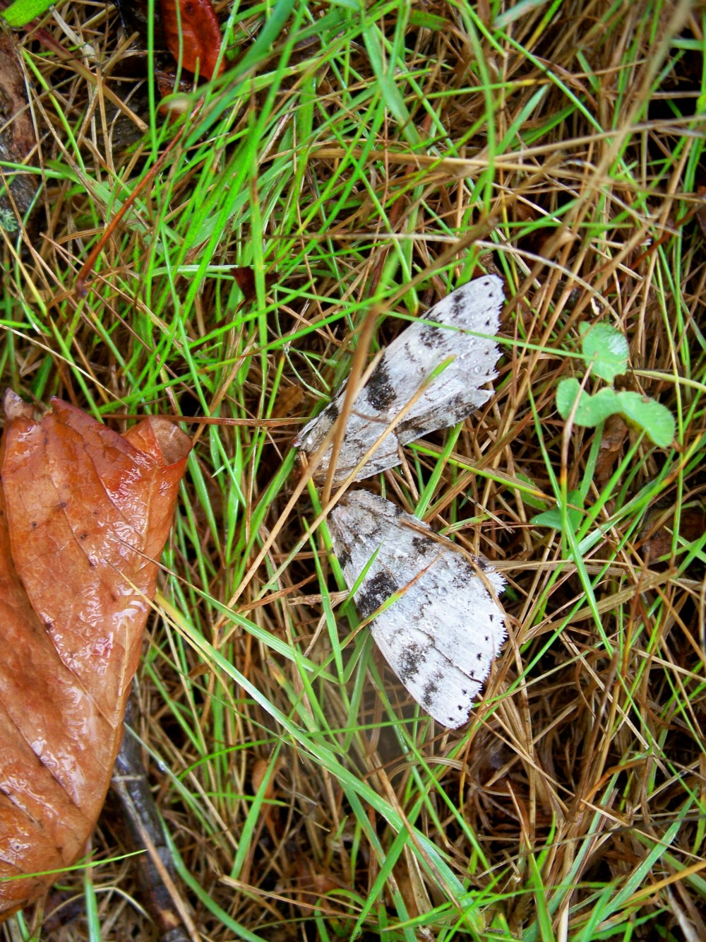 dead moth or butterfly, 13 Sept 2010