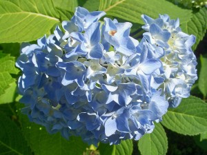 hydrangea blossom, July 2010