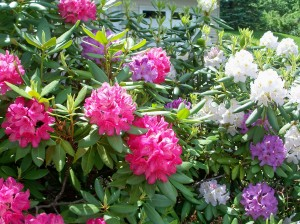 Rhodies, May 2010