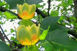Tulip poplar bloom, June 2010