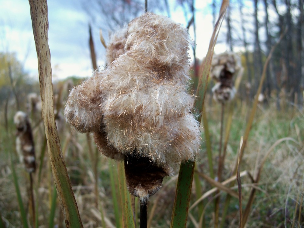cattails, 14 Oct 2010