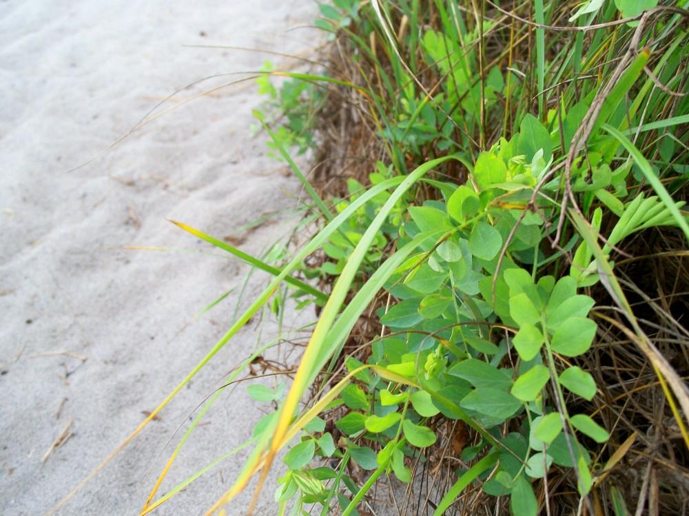 Pine Point Beach sand, beach pea, grasses