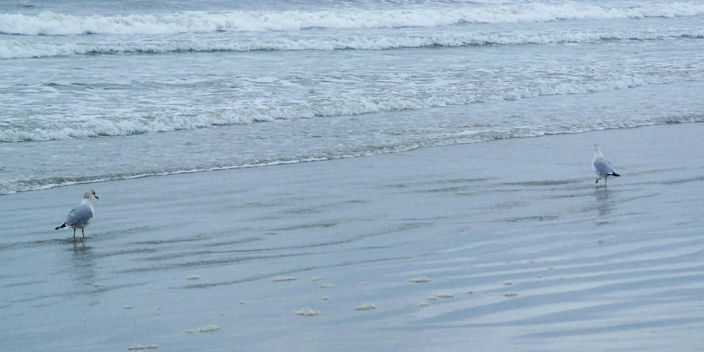 Pine Point Beach seagulls