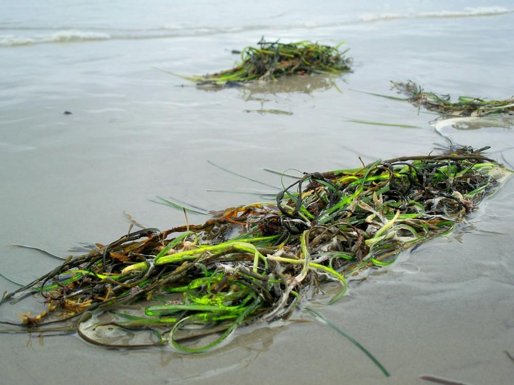 Pine Point Beach seaweed