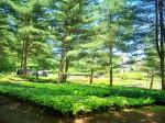 Black Forest Nursery (Boscawen) - part of hosta section