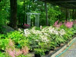 Kathan Gardens (Newport) astilbes