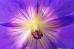 'Rozanne' geranium close - 16 Oct 2011