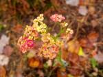 Yarrow 'Paprika' in bloom again - 20 Oct 2011