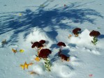Sedum 'Autumn Fire' and Nishiki willow tree shadow in snow - 30 Oct 2011