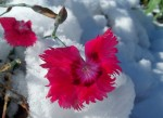 Dianthus in snow, 11 a.m. - 28 Oct 2011