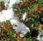Holly and snow, 11 a.m. - 28 Oct 2011