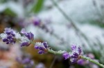 Lavender in snow - 27 Oct 2011