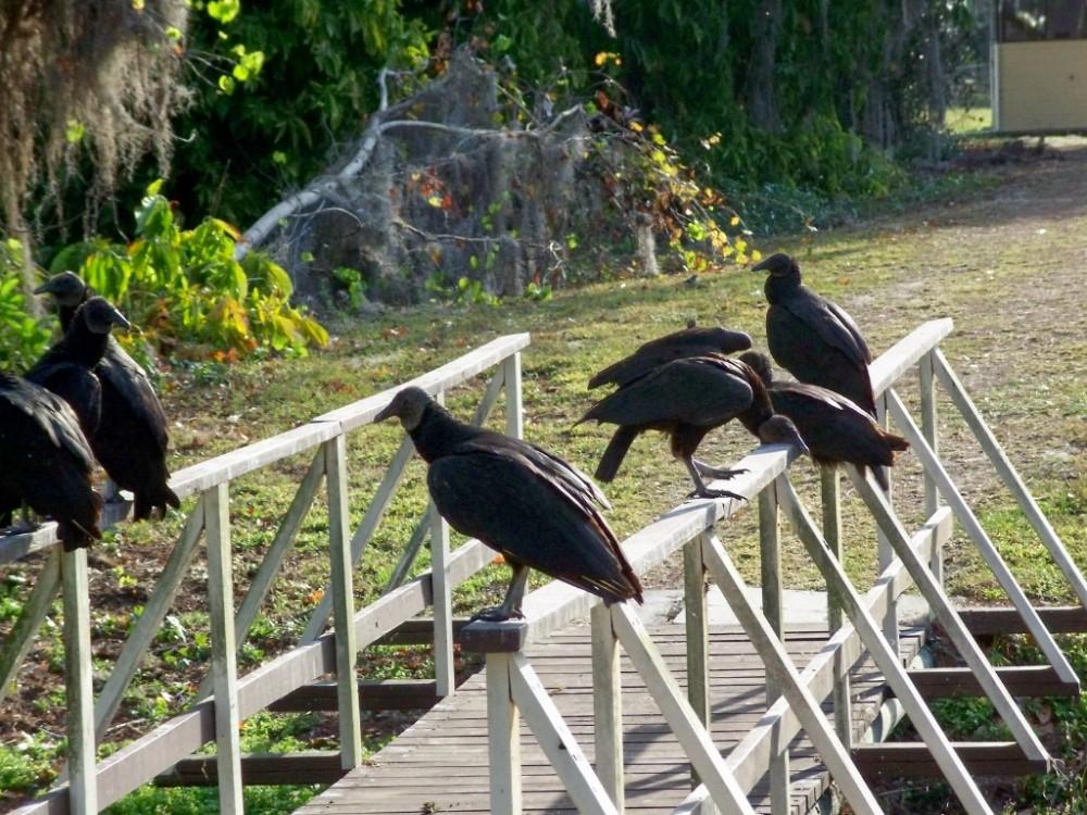 black vultures on bridge, Florida, Feb 2007