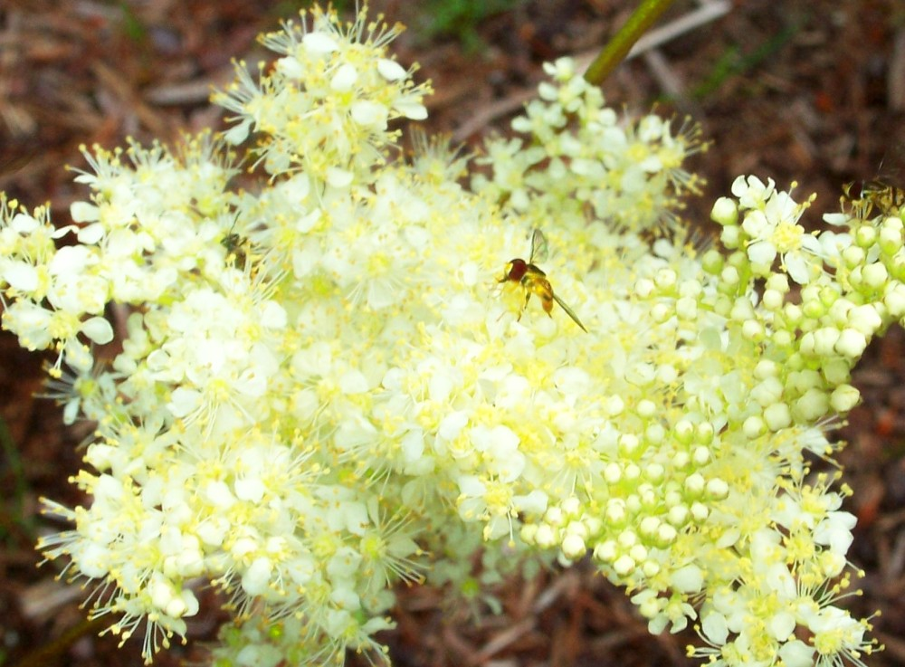 filipendula bloom with bee, 12 July 2011
